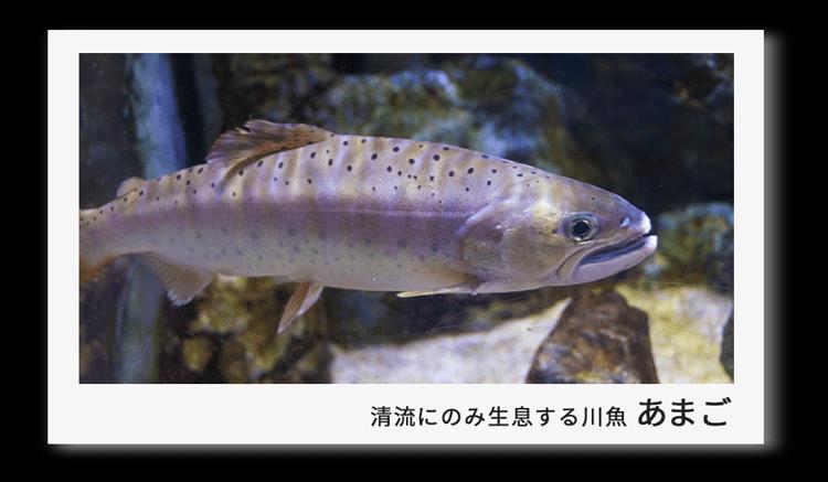 清流にのみ生息する川魚