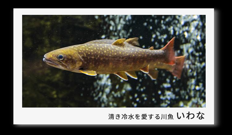 冷たい源流域を好む川魚