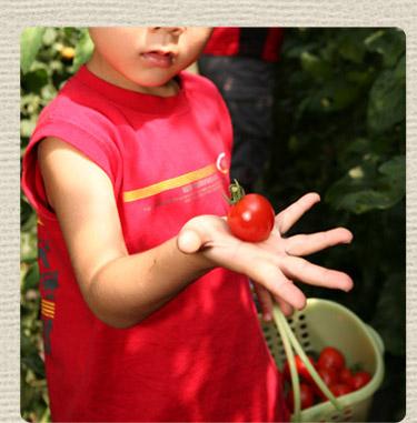 杤本農園のフルーツトマト狩り