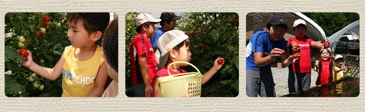 フルーツトマト狩りの様子