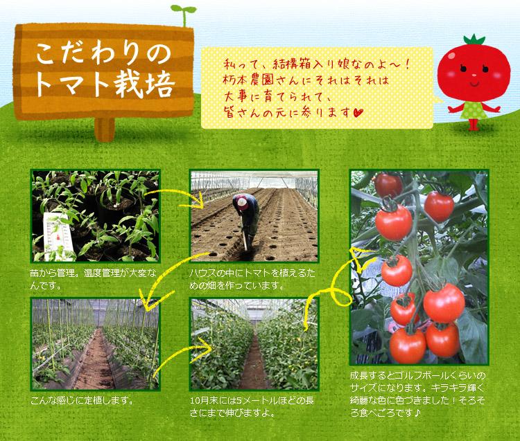 こだわりのトマト栽培
