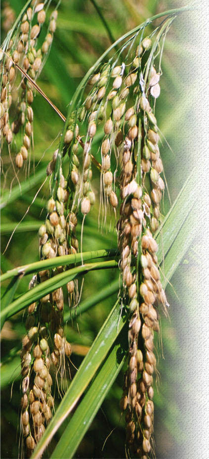 白毛もち米の稲穂
