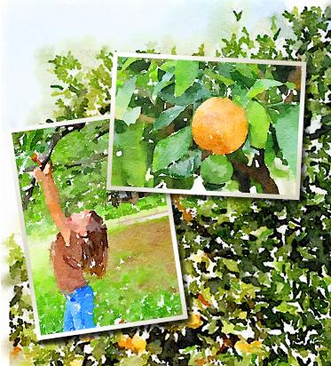 オレンジ畑