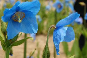 大鹿村の青いケシ